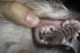 preview: Hund persistierende Milchzähne Backenzähne