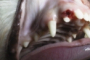 preview: Hund persistierende Milchzähne kein Doppelzahn