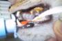 preview: Katze vereiterter Zahn, Folge Fistel
