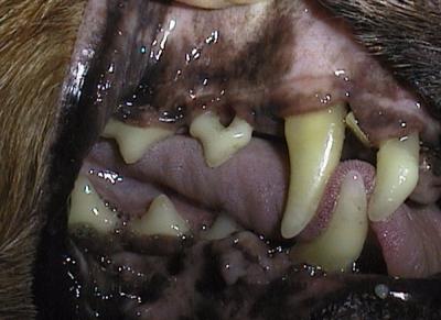 Hund Zahnfleischrückbildung bis zur Wurzel
