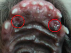 Caninus Engstand beim Welpen vor dem zahnwechsel mit Einbissstellen