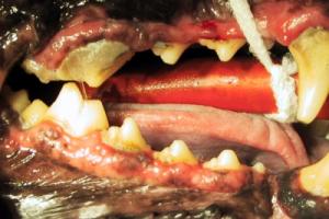 Hund beginnende Parodontitis