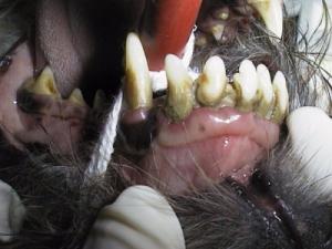 Hund mobile Zähne