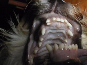 Hund persistierende Milchzähne oder Doppelzahn