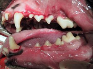 Hund Zahnfleischentzündung