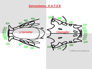 Schematische Darstellung des Katzenegebisses(anatomische Nummerierung)