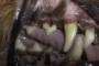preview: Hund Zahnfleischrückbildung bis zur Wurzel