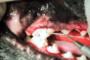 preview: Hund Zahnfleischtaschen