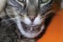 preview: Katze Unterkiefer Abszess