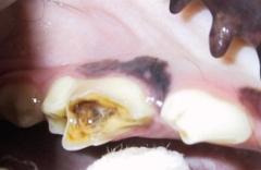 Hund mit kariösem Zahn / Karies