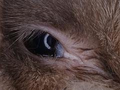 Eiter im Kaninchen Auge ist ein Indiz für Zahnprobleme